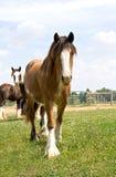 一匹年轻好奇马驹 库存照片