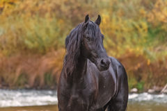 一匹黑白花的马的画象 库存图片