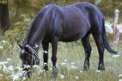 一匹黑褐色马吃草 库存图片