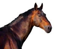 一匹黑褐色马的画象在白色背景的 免版税库存照片