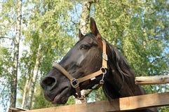 一匹黑马的头在木篱芭后的 免版税图库摄影