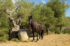 一匹黑Pyreneen马、Mérens或者Ariégois小马,在橄榄树小树林里,法国 图库摄影