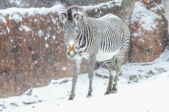 在雪的斑马 库存图片
