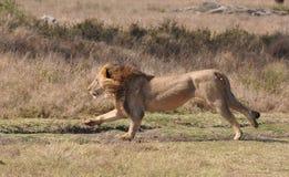 一匹grevy斑马1的狮子杀害 免版税库存照片