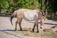 一匹Przewalski马的画象在动物园的 库存照片