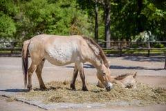 一匹Przewalski马的画象在动物园的 库存图片