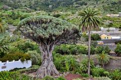 一千个年龙血树- Drago Milenario,特内里费岛 免版税库存照片
