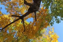 一千小滴从银杏树树的每个光秃的分支技巧垂悬 免版税库存照片