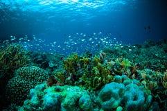 一千条鱼bunaken苏拉威西岛印度尼西亚水下的照片 免版税库存图片