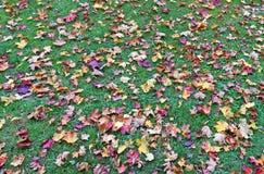 一千秋天槭树黄色和红色叶子在绿色g说谎 免版税图库摄影