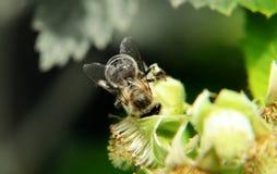一半图片在黑白,并且第二个一半图片在颜色 在欧洲蜂蜜蜂, apis mellifera,波尔布特的细节 免版税库存图片