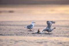 一半被吃的三文鱼飞溅海鸥 免版税库存照片