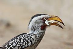 一南部黄色开帐单的犀鸟吃的画象 图库摄影