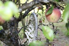 一双老运动鞋,垂悬在苹果树,树多年来盖了鞋子并且用青苔盖了它 库存图片