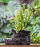 一双老鞋子的捕虫草 免版税库存照片