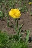 一双重被装饰的充满活力的金黄黄色郁金香 库存图片