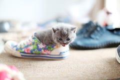 一双鞋的英国Shorthair婴孩 图库摄影