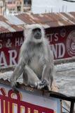 一只一家商店的屋顶的灰色叶猴休息室在Tapovan 库存照片