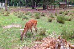 一只一点被察觉的小鹿是在清洁的啃的草在树中 图库摄影