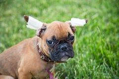 一只三个月牛头犬小狗的画象与哀伤的神色的 免版税图库摄影
