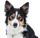 一只三色博德牧羊犬的特写镜头 库存图片