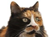 一只三色猫的画象,裁减路线 免版税库存图片