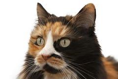 一只三色猫的画象 库存照片