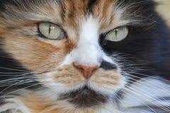 一只三色猫的画象 免版税库存照片