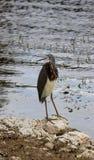 一只三色的苍鹭佛罗里达 库存图片