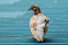 一只不适的鸽子 库存图片