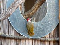 一只与一个木质的分支的男性金黄被盯梢的啄木鸟busies在沿奥卡万戈河的银行的一个镜子旁边在Namib 免版税库存图片