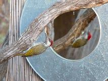 一只与一个木质的分支的男性金黄被盯梢的啄木鸟busies在沿奥卡万戈河的银行的一个镜子旁边在Namib 库存照片