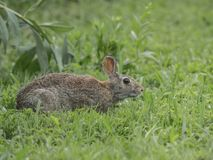 一只东部棉尾兔停下来检查作为它横渡草甸 库存照片