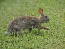 一只东部棉尾兔横渡被守卫的草甸 免版税库存照片