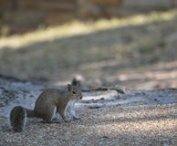 一只东部灰色灰鼠中型松鼠寻找食物的Carolinensis在坦帕湾的菲利普公园在安全港口,佛罗里达 免版税库存照片