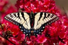 一只东部老虎Swallowtail蝴蝶坐杜娟花。 免版税图库摄影