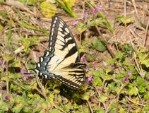 一只东部老虎Swallowtail蝴蝶的背面观 库存照片