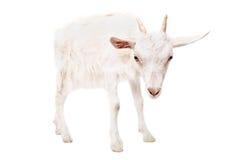 一只严肃的山羊的画象 库存图片