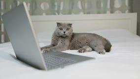 一只严肃的灰色猫在床上说谎在膝上型计算机附近 影视素材