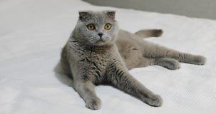 一只严肃的苏格兰人折叠猫在一张白色床上说谎在卧室 股票录像