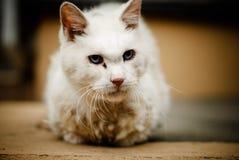 一只严肃的逗人喜爱的白色猫 图库摄影