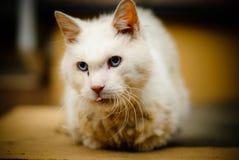一只严肃的逗人喜爱的白色猫 免版税库存照片