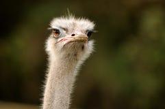 一只严重的驼鸟 免版税库存照片