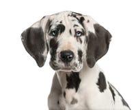 一只丹麦种大狗小狗的特写镜头 免版税库存照片