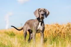 一只丹麦种大狗小狗的画象在国家道路的 免版税图库摄影