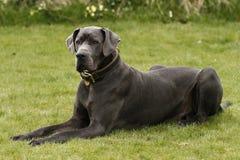 一只丹麦种大狗 库存照片
