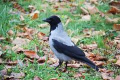 一只乌鸦在一个公园在莫斯科 免版税库存照片