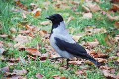 一只乌鸦在一个公园在莫斯科 免版税库存图片
