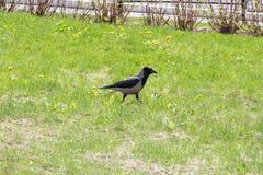 一只乌鸦在绿草的一个公园 库存图片