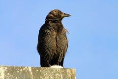 一只乌鸦的特写镜头反对蓝色背景的 库存图片